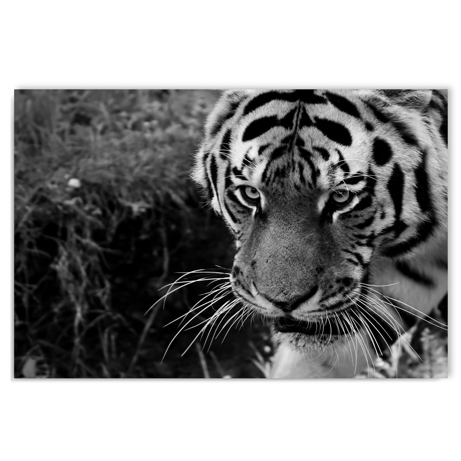 leinwand kunstdruck bilder wandbild tiger tiere natur schwarz wei 60 x 80 ebay. Black Bedroom Furniture Sets. Home Design Ideas